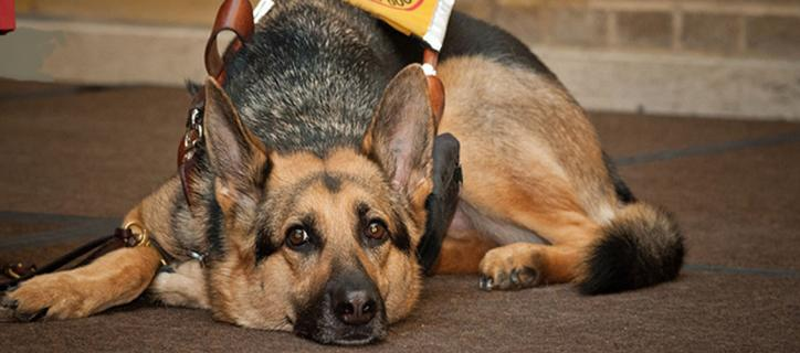 Denise's guide dog rests on the floor of a stage